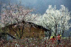 peach flowers in Mai Chau valley