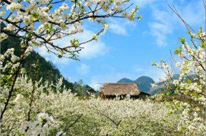 Ban Flowers in Mai Chau valley